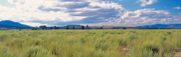 Rooibos piantagione