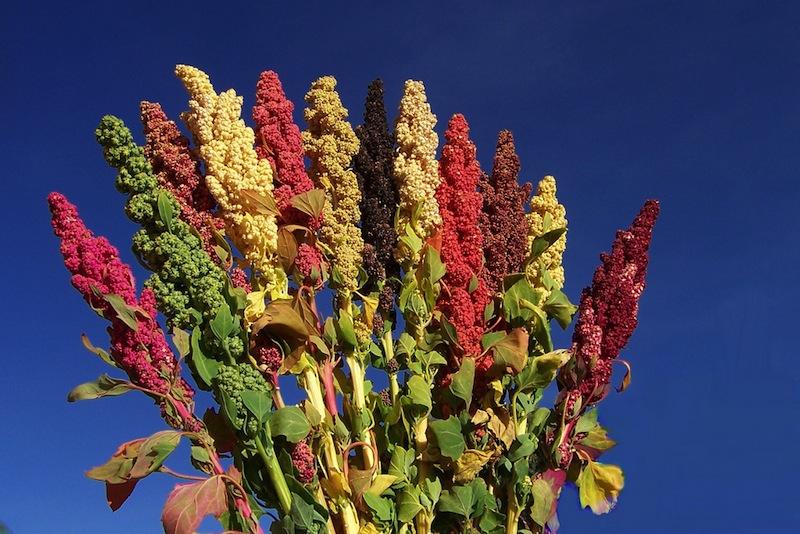Semi Farina di Quinoa