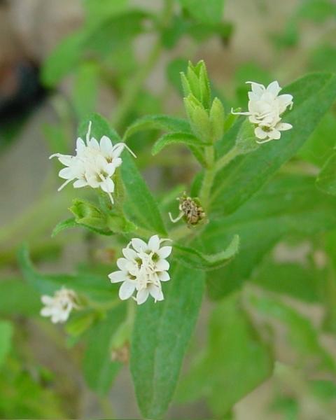Stevia Fiore