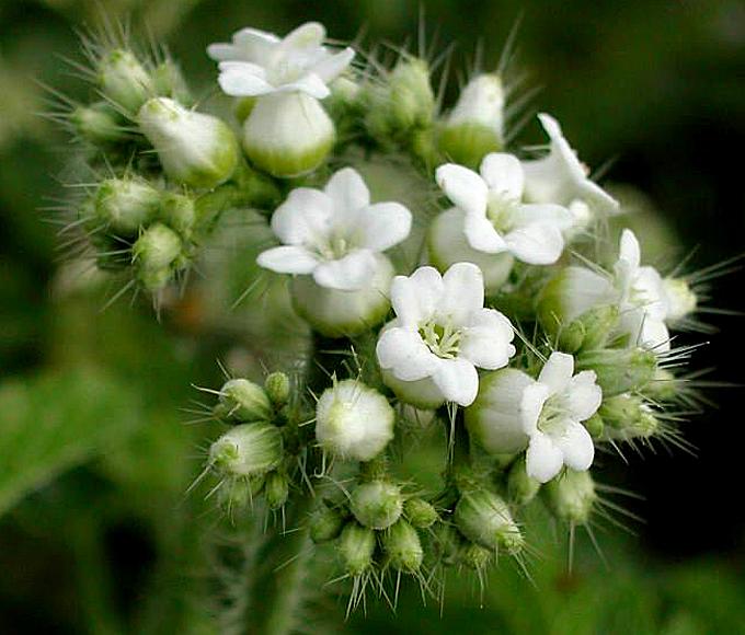 Urtica dioica fiore